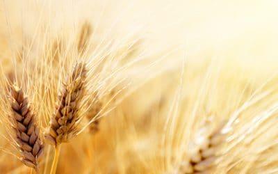Пшеницата – природен лечител за кожата и косата