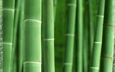 Бамбукът - стъбла към небето