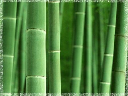 Бамбукът – стъбла към небето