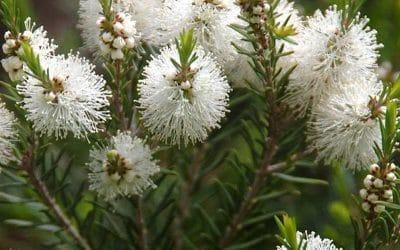 Чаено дърво – здраве от природата