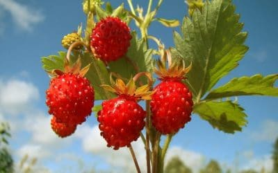 Горска ягода – вкусен плод и здравословна билка