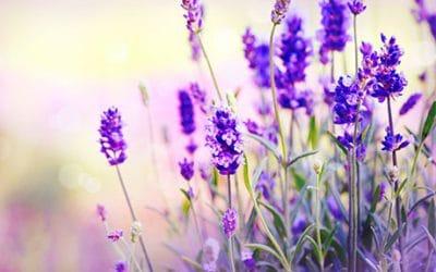 Лавандула – ароматерапия за кожата и тялото
