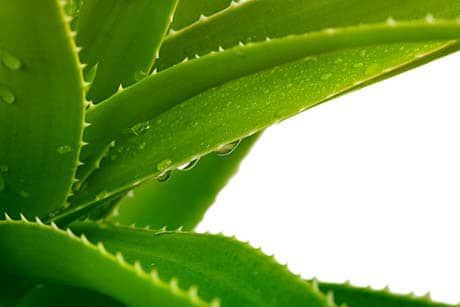 Чудодейното растение Алое Вера