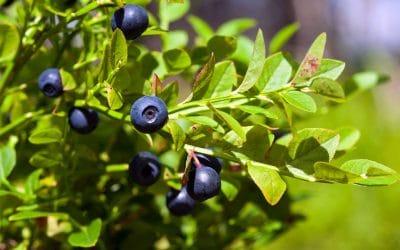 Черна боровинка – вълшебен антиоксидант