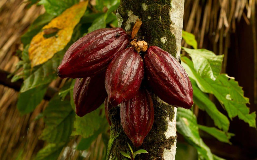 Какао – сладката страна в грижите за кожата