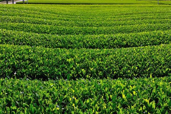 Зеленият чай и неговите магически свойства